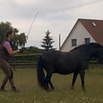 Langzügelarbeit mit Blitzi - Rückwärtsrichten (2)  Auf beiden Bildern ist gut zu sehen, dass ich hierbei selbst etwas in den Beugegang gehe, um meinem Pony vorzumachen, was ich von ihm wünsche.
