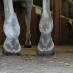bei diesem Pferd ist sehr deutlich die gestörte mediolaterale Balance der Hinterhufe zu sehen - hier ist bereits Spat entstanden und die Gallen an den Fesselgelenken sprechen ebenfalls für Umwandlung in den Gelenkspalten
